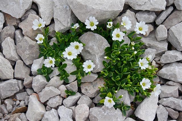 vysokohorská květina