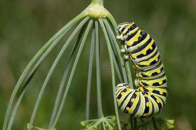 larva motýla